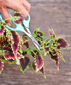 Dividing and multiplying coleus cuttings in water couldn't be easier. We show you how. | Photo: Matthew Benson | thisoldhouse.com