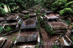 Classic car graveyard in Belgium.  Rumours say they were cars US serviceman couldn't ship home - but many were built after US troops left Belgium after WW2. So just one hoarders very big, remote car collection?