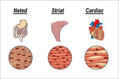 Ţesutul muscular este alcătuit din celule musculare alungite, numite fibre musculare. Acestea sunt delimitate de o membrană numită sarcolemă, iar în ...
