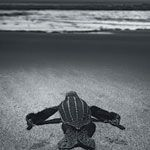 Blood in the Sand: Killing a Turtle Advocate Each spring on Costa Rica's desolate Caribbean coast, endangered leatherback sea turtles come ashore at night to lay and hide their eggs. Poachers steal them for cash, and as Matthew Power reports, they're willing to kill anyone who gets in their way.