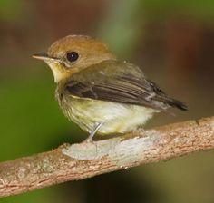 Yellow-throated-Spadebill (Platyrinchus flavigularis) Nigel Voaden
