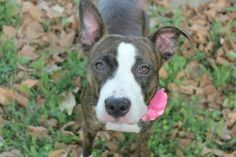 "SAFE ❤️❤️8/17/16 by Posh Pets Rescue THANK YOU ❤️❤️AKELA - A1084568 - - Manhattan Please Share: TO BE DESTROYED 08/17/16 A volunteer writes: ""Akela"" is defined as ""leader of the pack"" and no doubt the most famous Akela is that of the ""Jungle Book,"" the noble and wise leader of the Seeonee wolves. Our little Akela certainly doesn't appear to be a wizened leader. At least not at first sight. She is more of a cub, compact and adorable at only 39 lbs. A little vanilla and toffee-coat"