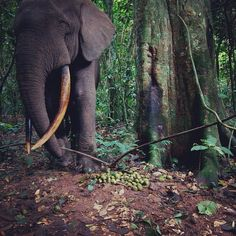 Photo by Ian Nichols @fnordfoto | Camera trap photo from Ndoki national park in Congo. This forest elephant is shaking a vine with his trunk in response to the clicking camera trap. We set up cameras at fruiting trees to figure out who was visiting fruiting trees and the when and why. NGM Feb 2010. www.congo-apes.org @thephotosociety #congo #elephant #cameratrap #behavior #fruit #Padgram