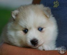 #Pomsky #Charming #PinterestPuppies #PuppiesOfPinterest #Puppy #Puppies #Pups #Pup #Funloving #Sweet #PuppyLove #Cute #Cuddly #Adorable #ForTheLoveOfADog #MansBestFriend #Animals #Dog #Pet #Pets #ChildrenFriendly #PuppyandChildren #ChildandPuppy #BuckeyePuppies www.BuckeyePuppies.com Pomsky Puppies For Sale, Lancaster Puppies, Us Vets, Animals Dog, How To Be Outgoing, Mans Best Friend, Puppy Love, Husky, Pets