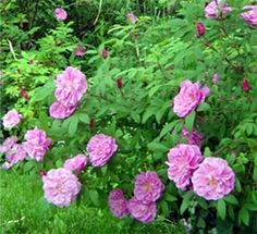Thérèse Bugnet Rose, bush, bought May 6, 2012, this rose blooms on old wood