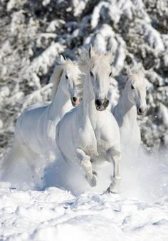 Gorgeous white horses running in the deep snow.