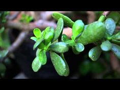 How To Care For and Grow The Jade Plant: Video