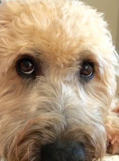 Soulful eyes of a SCWT