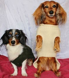 What to do on a gloomy and cold day? Stay inside and have a doxie sweater photoshoot!