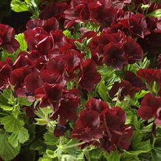 chocolate colour!  Pelargonium x hortorum  Solstice Chocolate has deep burgundy red blooms.  The solstice series exhibits better heat tolerance than most varieties, with a compact growth habit making them suitable for any garden situation.  Masses of blooms in spring and summer.  Drought tolerant, prefering a full sun to part shad...