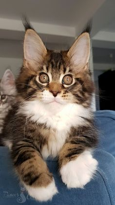 Fluffy Maine Coon Kitten with white Paws! - Kittens - Ideas of Kittens - Fluffy Maine Coon Kitten with white Paws! The post Fluffy Maine Coon Kitten with white Paws! Cute Cats And Kittens, Baby Cats, I Love Cats, Kittens Cutest, Baby Animals, Cute Animals, Animals Images, Fluffy Kittens, Siberian Kittens