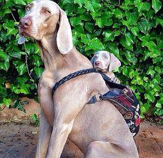 Puppy weirmaraner in