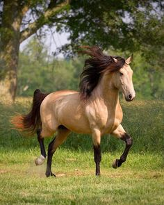 DEM Conquistador buckskin Lusitano stallion cantering underneath tree by AislingH Most Beautiful Horses, All The Pretty Horses, Animals Beautiful, Beautiful Gorgeous, Cute Horses, Horse Love, Horse Photos, Horse Pictures, Funny Animals