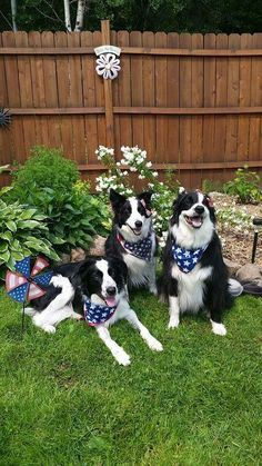 Border Collie party. The sheep are on the way.....
