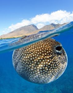 I found this pufferfish inflated at the surface while freediving. It looked like it was carrying the weight of the island on its back like the mythology of Atlas carrying the world on his shoulders. Olowalu, Maui.