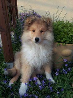 Liloo, chien Colley à poil long
