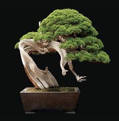 """Bonsai, meaning """"to plant in a tray,"""" is a tradition that originated in China about 2,000 years ago and later traveled to Japan. To cultivate a bonsai, a horticulture artist starts with cutting, seedling or small specimen of a woody-stemmed tree or shrub and then trains the plant to grow in a certain way, by pruning leaves and wiring branches into a desired shape. The goal is to create a miniature tree that looks natural, despite the artist's constant"""