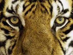 Free Image on Pixabay - Tiger, Feline, Wild, Wild Animal Tiger Pictures, Animal Pictures, Tiger Facts For Kids, Tiger Attack, Gato Animal, Jungle Resort, Pet Tiger, Siberian Tiger, Animals Of The World