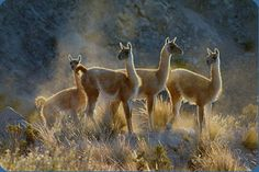 GUANACO (Lama guanicoe) ©guanacosepuyen The guanaco (Lama guanicoe) is a camelid native to South America  that stands between 107 and 122 cm (3.5 and 4 feet) at the shoulder and  weighs about 90 kg (200 lb). The colour varies very little (unlike the  domestic llama),  ranging from a light brown to dark cinnamon and shading to white  underneath. Guanacos have grey faces and small straight ears. They are  extremely striking with their large, alert brown eyes, streamlined form,  and energetic…