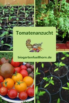 Tomatenanzucht Tomato cultivation - Many tips and tricks for tomato cultivation