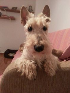 Whisky- the Scottish Terrier