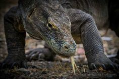 Komodo National Park is located between the islands of Sumbawa and Flores in Indonesia and consists of Komodo, Rinca, Padar and other smaller islands. New Seven Wonders, Large Lizards, Komodo National Park, Komodo Dragon, Sailing Adventures, Marine Life, Reptiles, Worlds Largest, Creatures