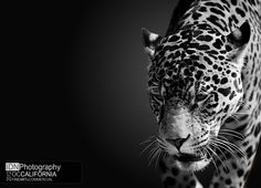 Pacing Jaguar