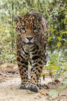 "jaguarssoul: "" by Mladen Janjetovic "" Jaguar Leopard, Jaguar Animal, Nature Animals, Animals And Pets, Cute Animals, Big Cats, Cool Cats, Beautiful Cats, Animals Beautiful"