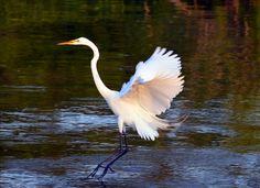 Egret - Corolla, NC