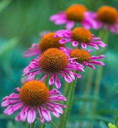 should grow coneflowers: Easy to grow. Blooms all summer. Echinacea 'All that Jazz'you should grow coneflowers: Easy to grow. Blooms all summer. Echinacea 'All that Jazz' Amazing Gardens, Beautiful Gardens, Dry Garden, Garden Tips, Vegetable Garden, Garden Ideas, Flower Garden Design, Starting A Garden, How To Attract Hummingbirds