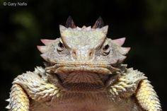 Phrynosoma blainvillii - Blainville's Horned Lizard (Coast Horned Lizard) http://www.californiaherps.com/lizards/images/pcoronatumsd5082.jpg