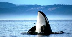 Humpday Photo of the Week! Victoria is home to three resident pods of orca whales. Have you been whale watching?