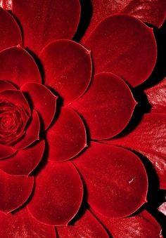 Red succulent. So pretty.