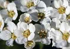 Spiraea 'Grefsheim' / hybridspirea