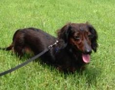 Rose is an adoptable Dachshund Dog in Columbia, MO. If you love dachshunds, you'll love this little Rose. Found as a stray, she is a little wary of strangers, but give her a day and she'll shower you ...