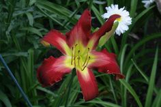 """'Volcanic Eruption' Gossard, 2004.  SOLD OUT 4/11/15 $10 DF.  height 46"""", bloom 7.5"""", season M, Dormant, Tetraploid, 38 buds, 6 branches, UFo Crispate , Red with lighter watermark and edge above green throat. Tall sturdy dormant from Gossard. Ineresting blend of colors."""