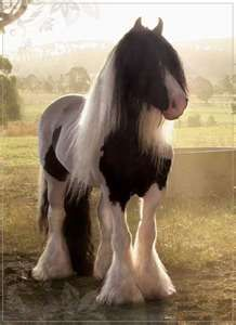 Gypsy Vanner... My Dream Horse!