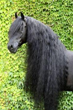 Friesian horse stallion black baroque