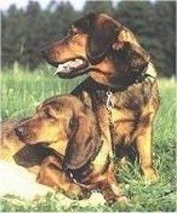 113 Best Alpine Dachsbracke Images Dogs Dog Breeds Animals