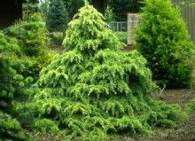 Cedrus deodara ' Snow Sprite ' This is a white tipped Himalayan Cedar dwarf plant. Makes a tighter than species conical shrub with weeping white ends. Prefers Partial shade and pruning. Fairy Garden Plants, Garden Shrubs, Shade Garden, Evergreen Garden, Evergreen Shrubs, Conifer Trees, Deciduous Trees, Cedrus Deodara, Bush Garden