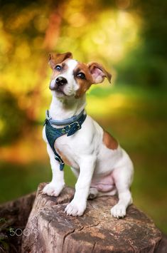 Puppy Jack Russell - Puppy Jack Russell sitting on a stump in the summer park Fox Terrier, Terrier Puppies, White Terrier, Terrier Mix, Jack Russell Terriers, Jack Russell Puppies, Cute Dogs And Puppies, I Love Dogs, Maltese Puppies