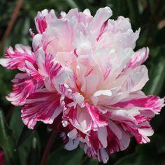 Perennials, Pink Flowers, Paper Art, Decorations, Tattoos, Rose, Plants, Flowers, Papercraft