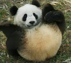 Panda nous montrant ses fesses