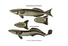 remora fish - Google Search