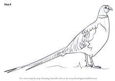 Learn How to Draw a Common pheasant` (Birds) Step by Step : Drawing Tutorials