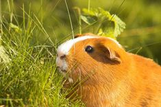 Guinea Pig Names – There are few pets as cute and cuddly as a guinea pig, so we totally understand your excitement if you are in the process of getting one. Guinea pigs are becoming an increa… Cute Guinea Pigs, Guinea Pig Care, Pigs Eating, Kinds Of Vegetables, Pet Home, Celery, Names, Canning, Pets