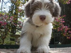Bearded Collie Cute Puppies, Cute Dogs, Dogs And Puppies, Bearded Collie Puppies, Animals And Pets, Cute Animals, Dog Id, Collie Dog, Beautiful Dogs