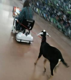 Now we have goats for the handicapped?                                                                                                                                                                                 More