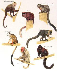 Blanco careto capuchino mono ardilla Saki por mysunshinevintage