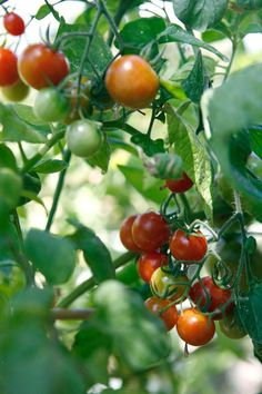 Great article on summer crops - how to grow tomatoes. #howto #garden #tomatoes